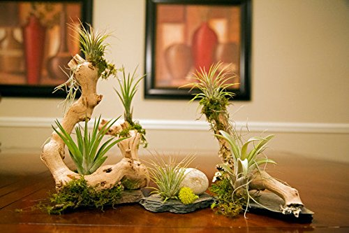 Succulent Plant Amazon