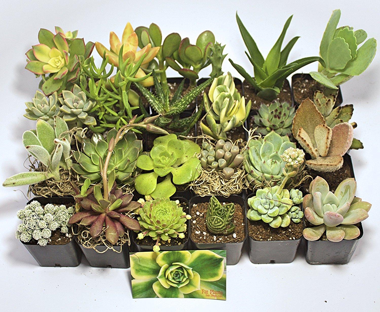 Fat Plants Small Succulent Plants