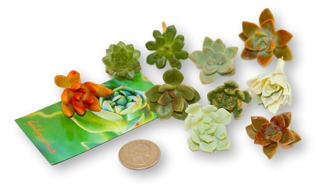 Mini Rosette Plant Amazon