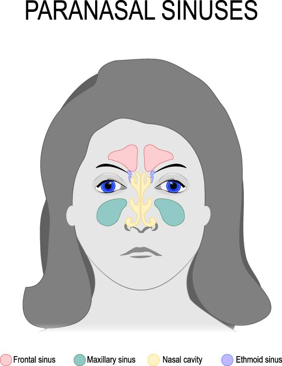 Sinus Cavities Diagram