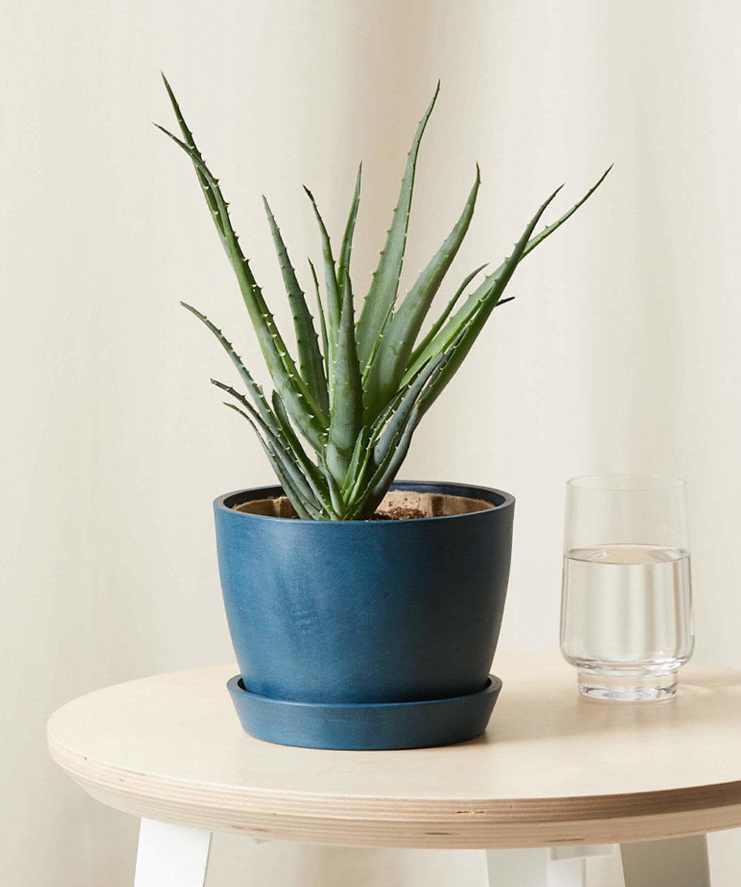 aloe plant in a pot