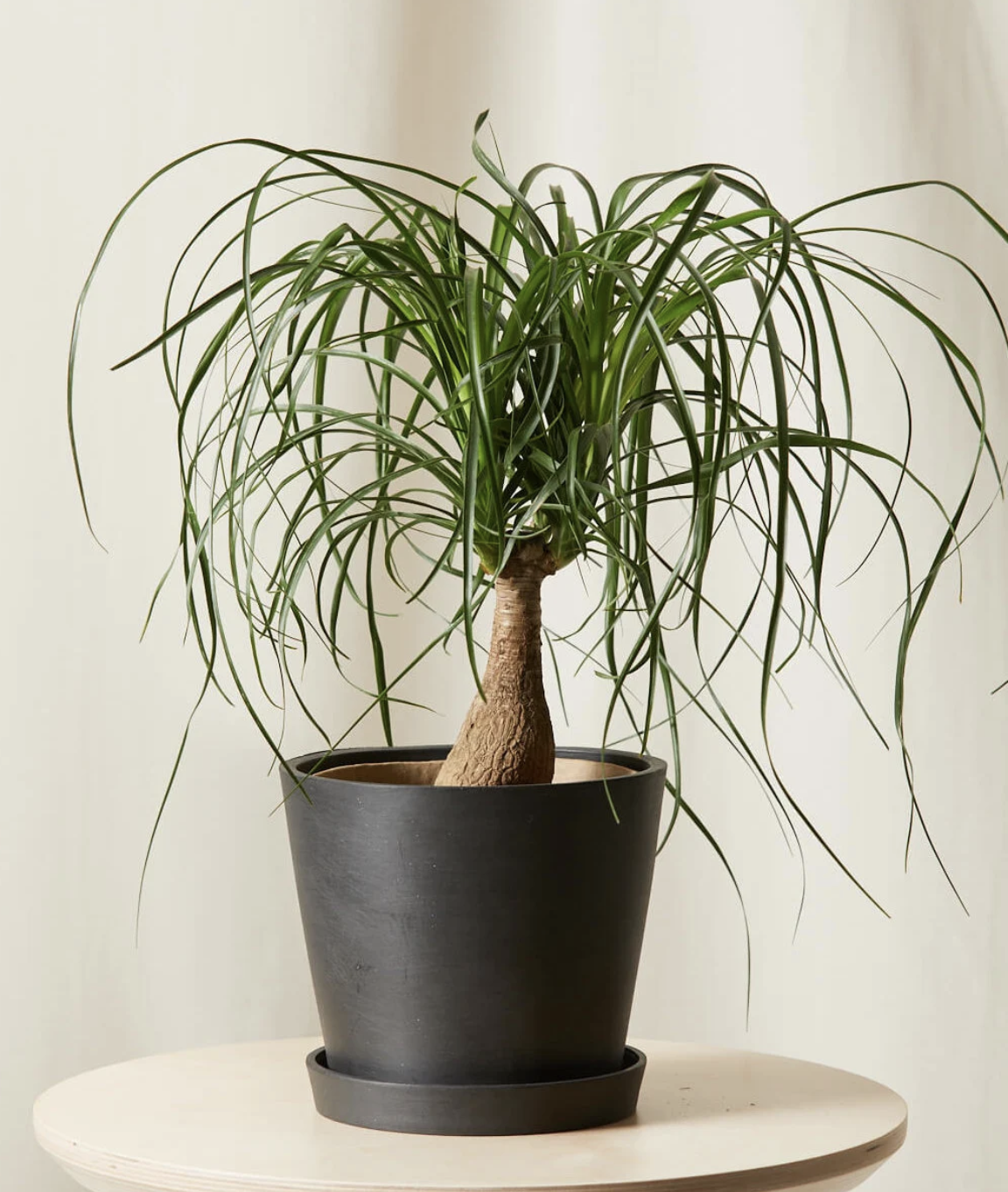 ponytail palm in a pot