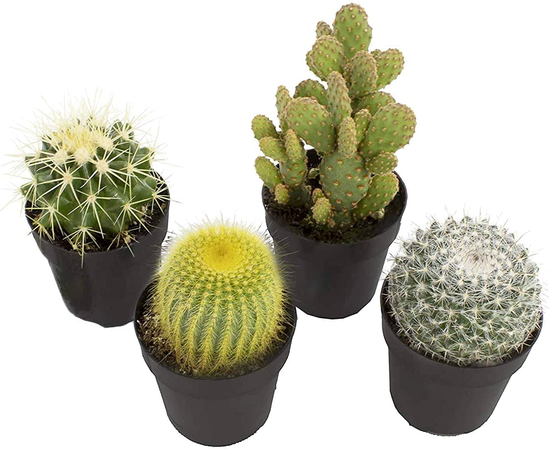 cactus succulents
