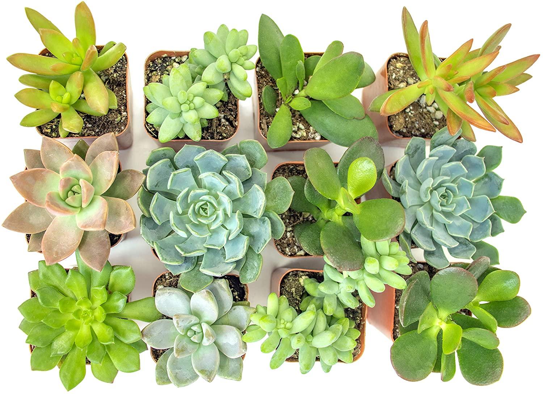 Assorted succulents to buy online