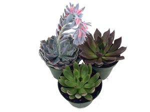 how to order succulents online