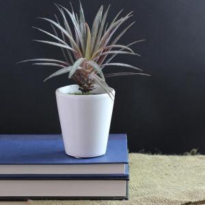 Succulent White Pot