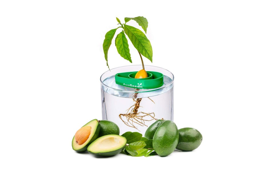 how to grow avocado tree in