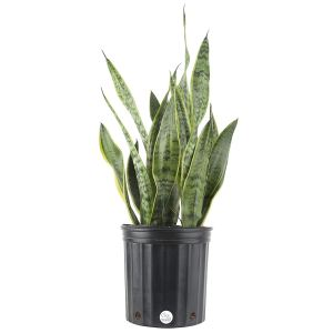 Indoor Plant Snake Plant