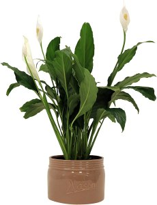 Indoor Peace Lily Spathyphyllum