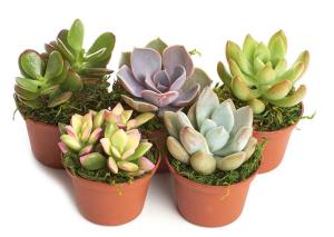Succulent Potted Plants