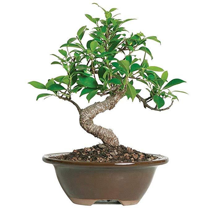Bonsai Tree Brussel's Bonsai