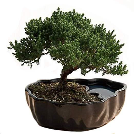 bonsai tree 9Green Box