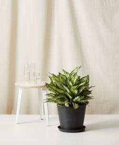 best indoor plants aglaonema spring snow