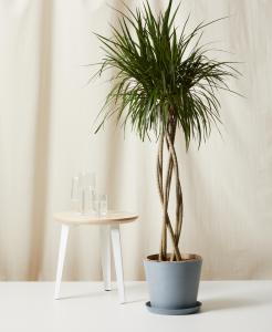 best indoor plants dracaena marginata open weave