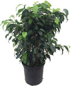 best indoor plants house plant wintergreen fig