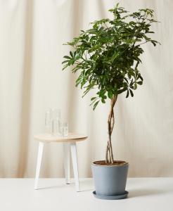 best indoor plants schefflera arboricola