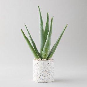 order plants online / best indoor plants aloe plant