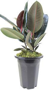 order plants online / best indoor plants burgundy rubber tree