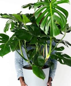 order plants online / best indoor plants monstera