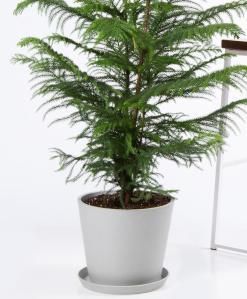 order plants online / best indoor plants norfolk pine