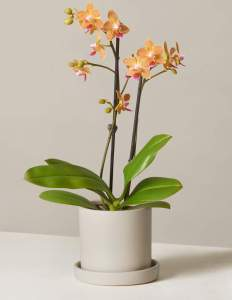 flower delivery online petite sunset orchid the sill