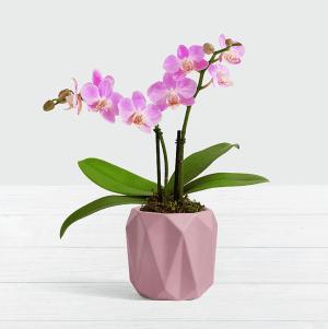 order plants online / best indoor plants pink mini orchid