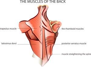 latissimus dorsi muscle, best shoulder workouts
