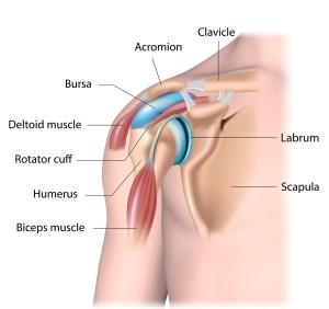 deltoid muscle, best shoulder workouts