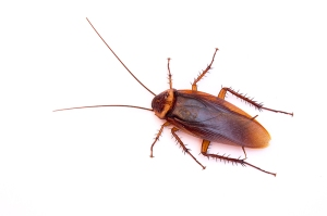 american cockroach, how to get rid of roaches