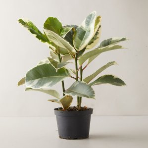 ficus tineke plant, flower delivery services