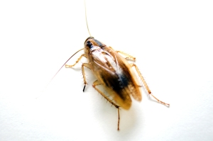German cockroach, how to get rid of roaches