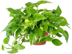 indoor golden pothos, how to take care of plants