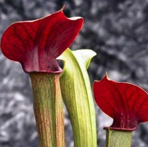 Saracenia Red Hood carnivorous plant, buy carnivorous plants online