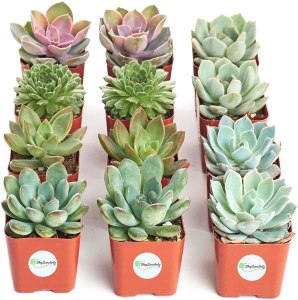 shop succulents pack of 12 succulents, how to take care of plants