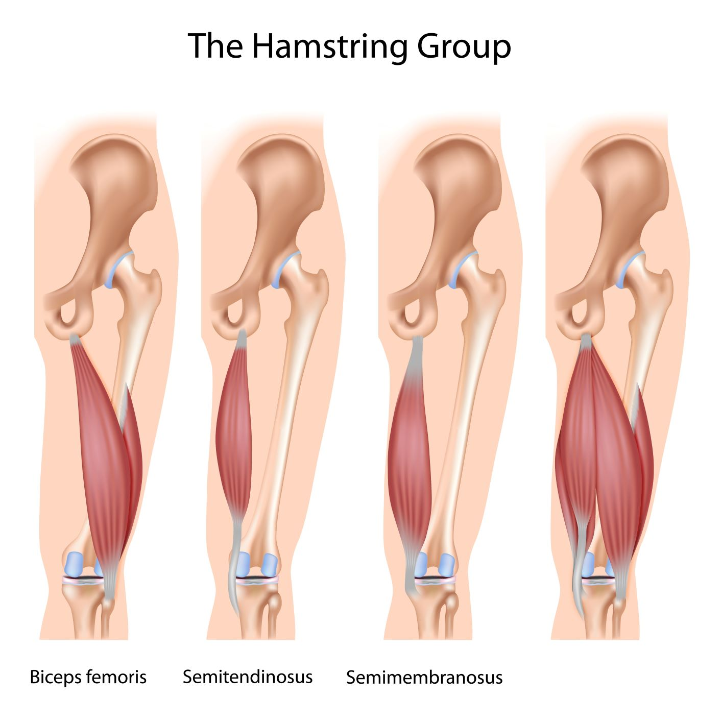 hamstring muscle group best hamstring exercises