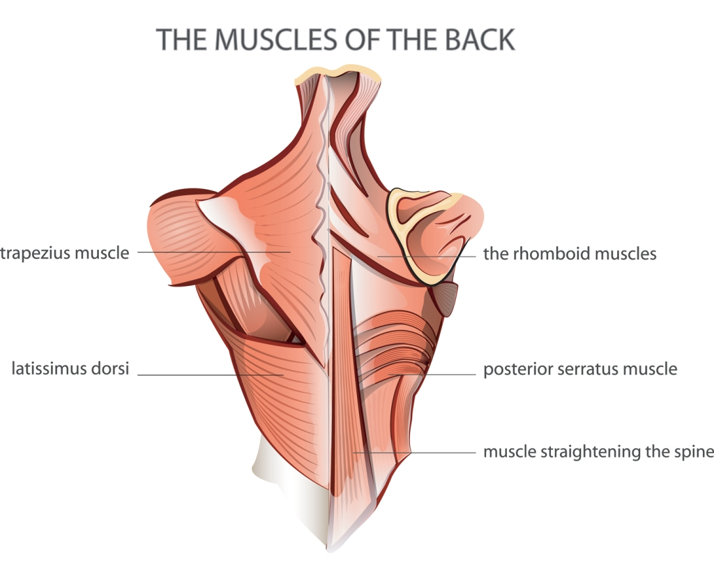 muscles of the back graphic