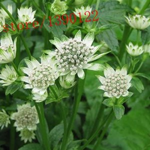 how to get rid of slugs svi astrantia major