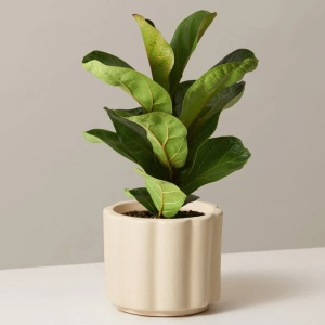 The Sill Fiddle Leaf Fig