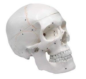 human anatomical skull, halloween decoration ideas