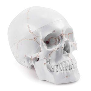halloween decorations Medarchitect Life Size Anatomical Head