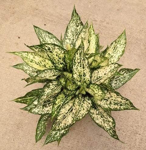 Aglaonema spring snow plant