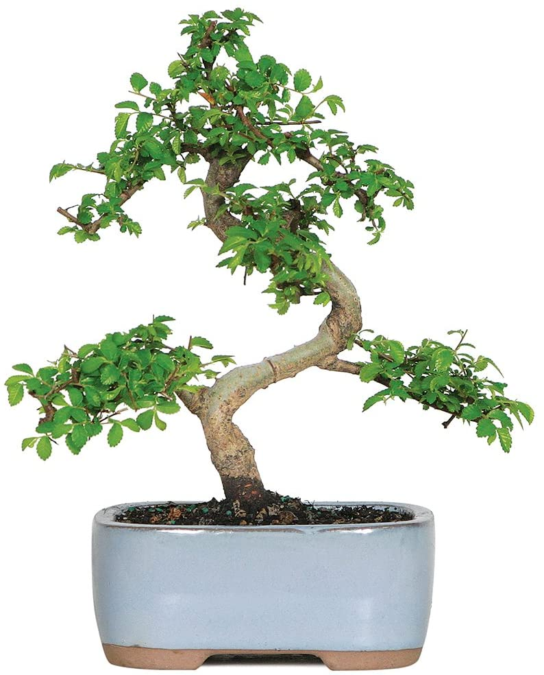 Brussel's Live Chinese Elm Outdoor Bonsai Tree