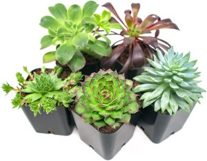 succulent plant 5-pack, budget Christmas gifts