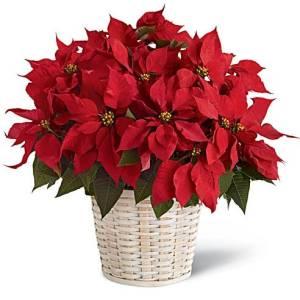 sendflowers.com poinsettias, buy poinsettias online