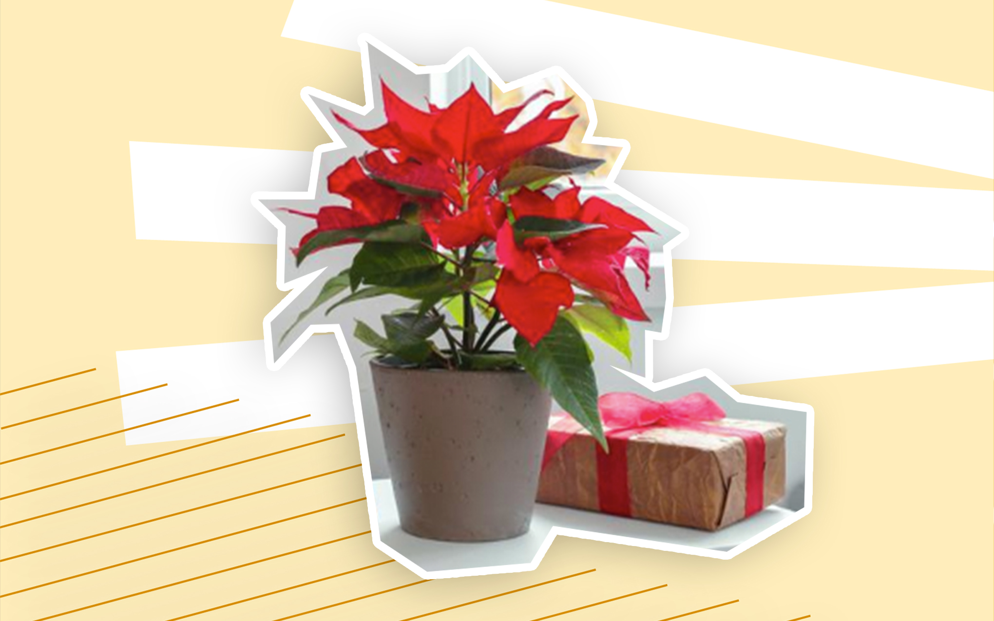 Here S Where To Buy Poinsettias Online The Red Christmas Flowers Spy