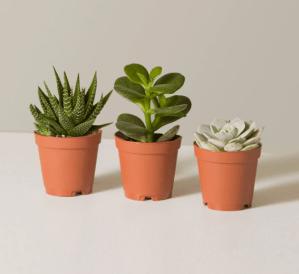 succulent assortment, online flower delivery