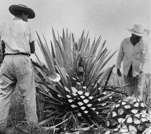 two men working with a blue agave plant in the 50s