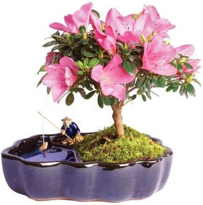 Azalea Bonsai tree, bonsai tree starter kits