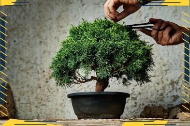 Bonsai-tree-featured