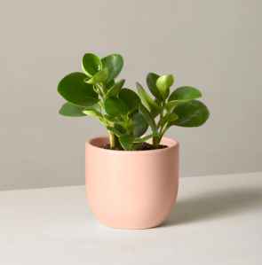 The Sill baby rubber plant, cheap mother's day gifts